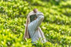 Lo Sri Lanka: collettore del tè con una borsa in piantagione Fotografie Stock Libere da Diritti