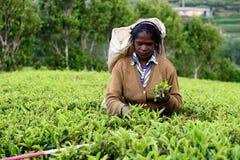 Lo Sri Lanka, donna per raccogliere il tè via sulle piantagioni di tè Fotografie Stock Libere da Diritti