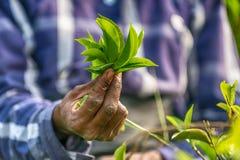 Lo Sri Lanka: mani delle foglie di tè della tenuta del collettore del tè in piantagione Fotografie Stock Libere da Diritti