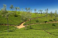 Lo Sri Lanka, piantagione di tè Fotografia Stock Libera da Diritti