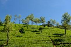Lo Sri Lanka, piantagione di tè Immagine Stock Libera da Diritti