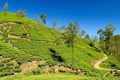 Lo Sri Lanka, piantagione di tè Immagini Stock