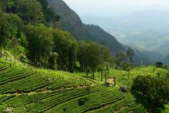 Lo Sri Lanka, piantagione di tè Immagini Stock Libere da Diritti