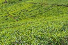 Lo Sri Lanka: piantagioni di tè dell'altopiano in Nuwara Eliya Fotografia Stock