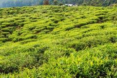 Lo Sri Lanka: piantagioni di tè dell'altopiano in Nuwara Eliya Fotografia Stock Libera da Diritti