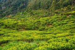 Lo Sri Lanka: piantagioni di tè dell'altopiano in Nuwara Eliya Fotografie Stock Libere da Diritti