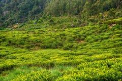 Lo Sri Lanka: piantagioni di tè dell'altopiano in Nuwara Eliya Immagini Stock