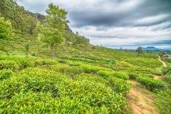 Lo Sri Lanka: piantagioni di tè dell'altopiano in Nuwara Eliya Immagine Stock