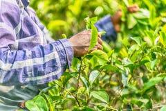 Lo Sri Lanka: raccolta di tè in piantagione Fotografia Stock Libera da Diritti