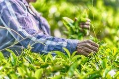 Lo Sri Lanka: raccolta di tè in piantagione Fotografia Stock