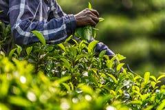 Lo Sri Lanka: raccolta di tè in piantagione Immagini Stock