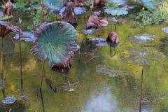 Lo stagno di Waterlily, si asciuga e ninfee morte, il fiore di loto morto, bello fondo colorato con la ninfea nello stagno immagine stock