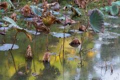 Lo stagno di Waterlily, si asciuga e ninfee morte, il fiore di loto morto, bello fondo colorato con la ninfea nello stagno fotografie stock