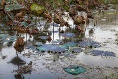 Lo stagno di Waterlily, si asciuga e ninfee morte, il fiore di loto morto, bello fondo colorato con la ninfea nello stagno immagine stock libera da diritti