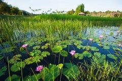 Lo stagno fertile con la ninfea è in fioritura nel primo mattino, nella bella alba che splendono sulla superficie dell'acqua ed i immagini stock
