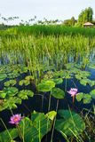 Lo stagno fertile con la ninfea è in fioritura nel primo mattino, nella bella alba che splendono sulla superficie dell'acqua ed i fotografia stock