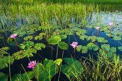 Lo stagno fertile con la ninfea è in fioritura nel primo mattino, nella bella alba che splendono sulla superficie dell'acqua ed i fotografie stock libere da diritti