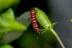 Lo stainer di cotone sui rami è considerato un insetto importante fotografia stock