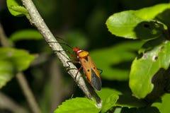 Lo stainer di cotone sui rami è considerato un insetto importante fotografie stock
