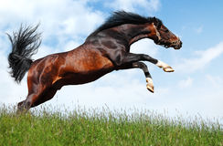 Lo stallion arabo salta - il photomontage realistico Fotografie Stock