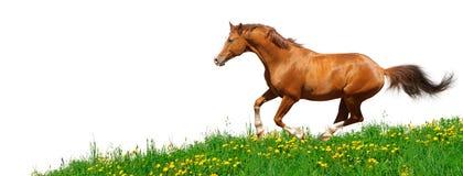 Lo stallion di Trakehner galoppa nel campo Fotografia Stock Libera da Diritti