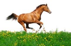 Lo stallion di Trakehner galoppa nel campo Fotografia Stock