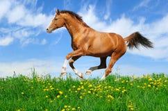 Lo Stallion galoppa nel campo Fotografia Stock