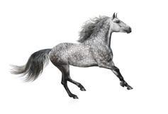 Lo stallone andaluso grigio galoppa su fondo bianco Fotografia Stock