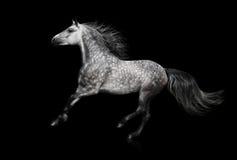 Lo stallone andaluso grigio galoppa su fondo nero Fotografia Stock