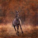 Lo stallone nero Fotografie Stock