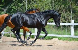 Lo stallone nero e lo stallone della baia galoppano su manege Fotografia Stock