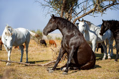 Lo stallone nero si siede come un cane, ritratto su libertà Fotografie Stock