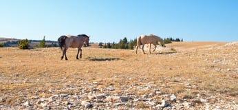 Lo stallone selvaggio della strada rossa e la sua giumenta del palomino nel cavallo selvaggio della montagna di Pryor variano nel Fotografia Stock