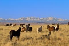 Lo stallone vigilante guarda il suo gregge selvaggio dei cavalli nel Wyoming immagini stock