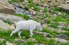Lo stambecco adulto si alimenta fuori da erba verde Fotografia Stock Libera da Diritti