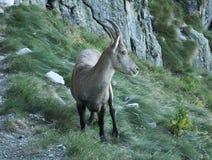 Lo stambecco delle Alpi cammina sulle rocce Fotografie Stock