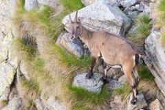 Lo stambecco femminile si è appollaiato su roccia sulle alpi francesi italiane Fotografia Stock