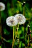 Lo steepe Altaya di Flowerses Fotografie Stock Libere da Diritti