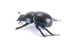 Lo stercorarius di Geotrupes, o gli scarabei stercorari dell'terra-alesaggio, o lo sterco sono Immagini Stock
