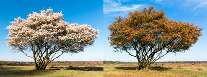 Lo stesso singolo albero in primavera e l'autunno Fotografie Stock