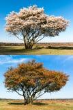 Lo stesso singolo albero in primavera e l'autunno Fotografia Stock Libera da Diritti