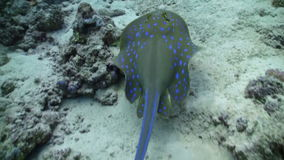 Lo stingray macchiato blu nuota sulla barriera corallina stock footage