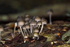 Lo stipata di Mycena del fungo Fotografia Stock Libera da Diritti