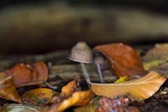Lo stipata di Mycena del fungo Fotografia Stock