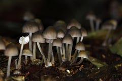 Lo stipata di Mycena del fungo Immagine Stock Libera da Diritti