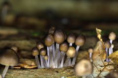 Lo stipata di Mycena del fungo Fotografie Stock