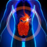 Lo stomaco/budella/intestino tenue - anatomia maschio degli organi umani - fa i raggi x della vista royalty illustrazione gratis