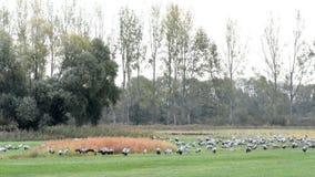Lo stormo degli uccelli della gru pasce su un prato alla regione di Rhinluch a Brandeburgo Germania Migrazione di uccello di autu archivi video