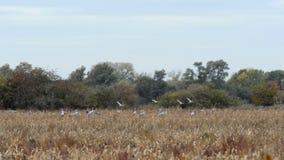 Lo stormo degli uccelli della gru pasce su un prato alla regione di Rhinluch a Brandeburgo Germania Migrazione di uccello di autu stock footage
