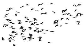 Lo stormo degli uccelli neri canta volo su un backgroun bianco isolato Immagine Stock Libera da Diritti
